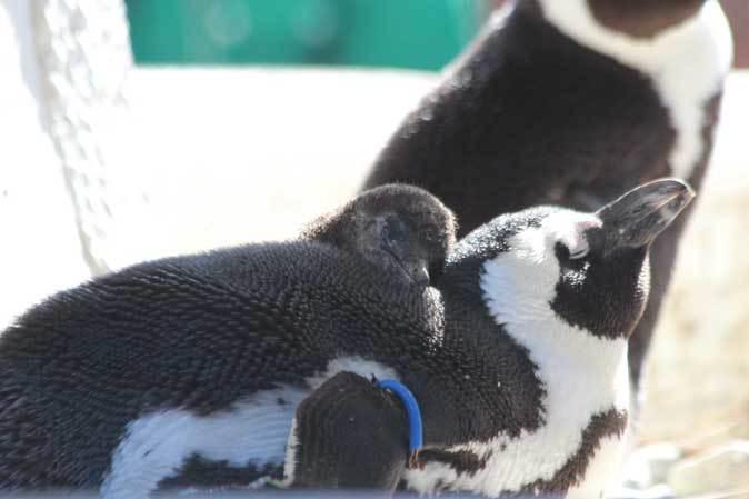 ケープペンギンのヒナ(上野動物園 January 2019)_b0355317_21193976.jpg