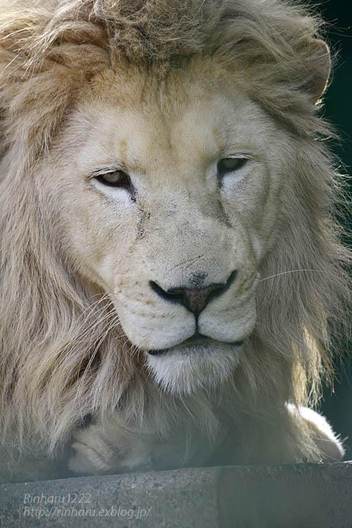 2019.11.30 東北サファリパーク☆白獅子ポップ&茶獅子ノゾム【Lions】_f0250322_22261724.jpg