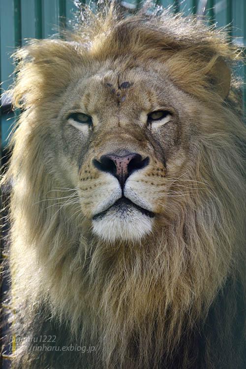 2019.11.30 東北サファリパーク☆白獅子ポップ&茶獅子ノゾム【Lions】_f0250322_22262598.jpg