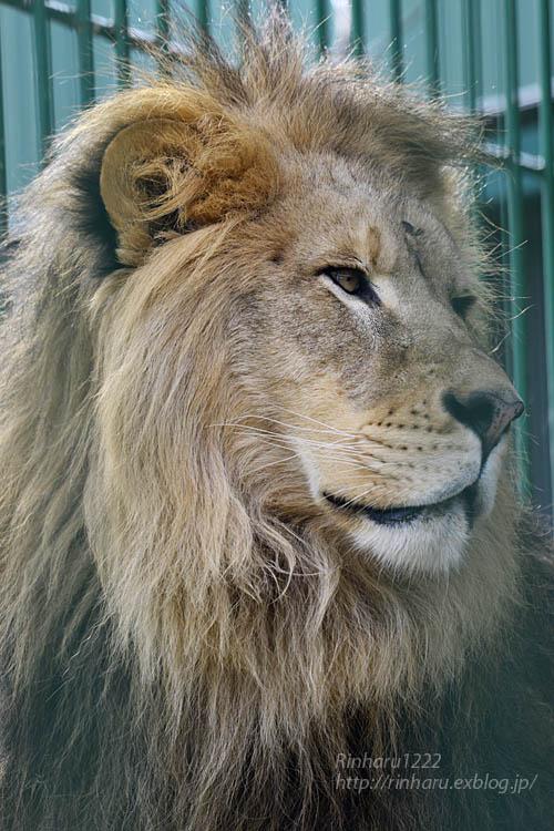 2019.11.30 東北サファリパーク☆白獅子ポップ&茶獅子ノゾム【Lions】_f0250322_2226461.jpg