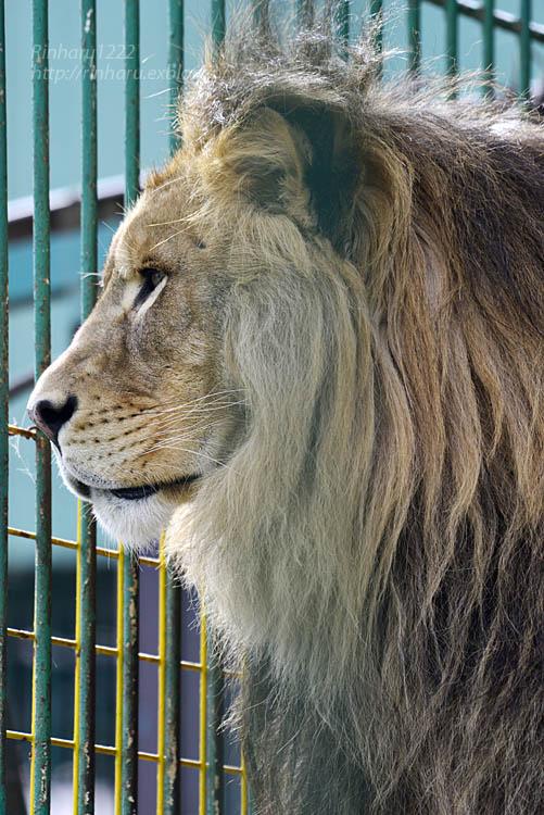 2019.11.30 東北サファリパーク☆白獅子ポップ&茶獅子ノゾム【Lions】_f0250322_22265383.jpg