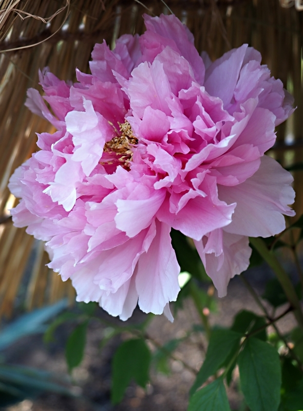 上野東照宮の冬ぼたん ☆_d0146247_14194927.jpg