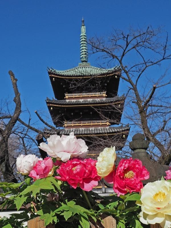 上野東照宮の冬ぼたん ☆_d0146247_14202359.jpg