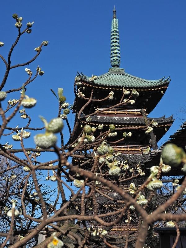 上野東照宮の冬ぼたん ☆_d0146247_14205572.jpg