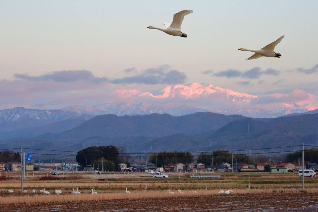 赤い白山と白鳥_e0403850_21403853.jpg