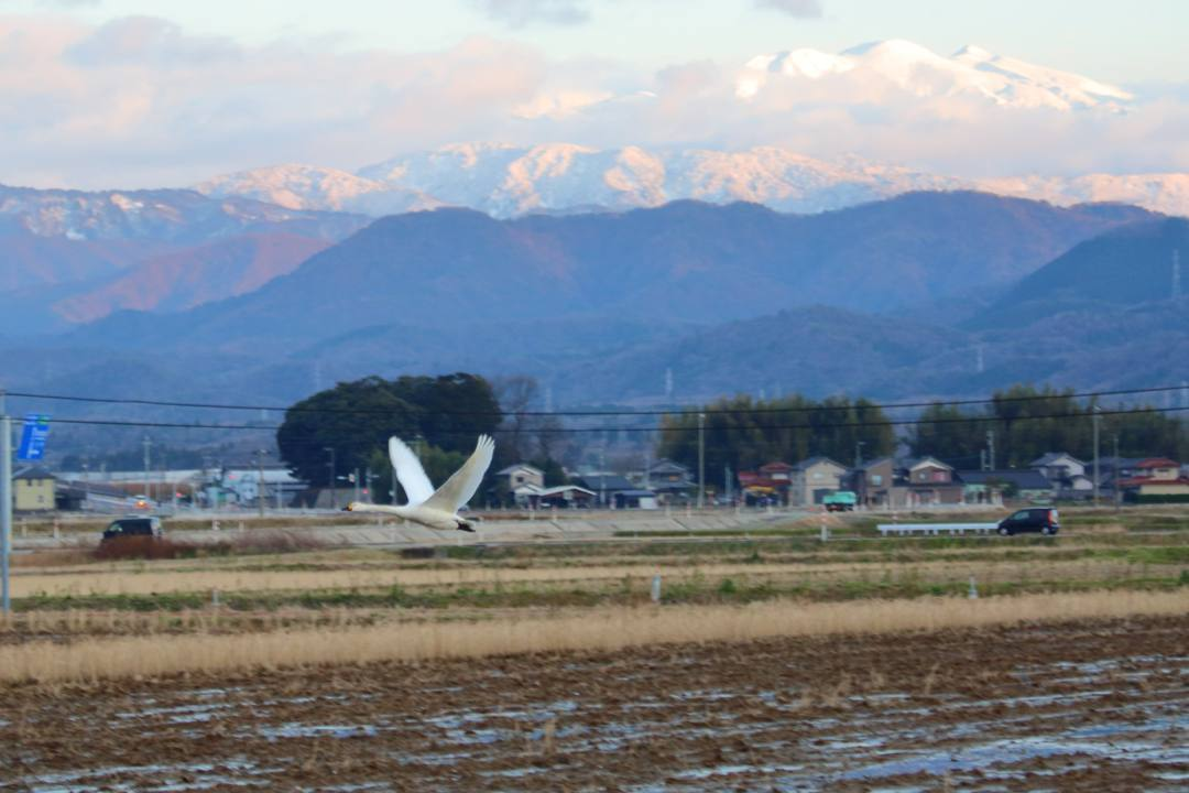 赤い白山と白鳥_e0403850_21411124.jpg