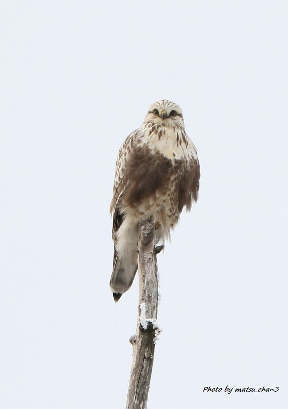 ケアシノスリ Rough-legged Buzzard_c0070654_13191370.jpg