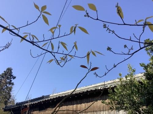 日本晴れとアオモジ_d0336460_02210010.jpeg