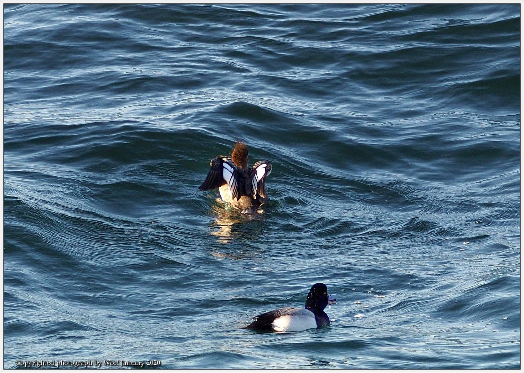 ウミアイサ 内湾で_c0198669_17404660.jpg