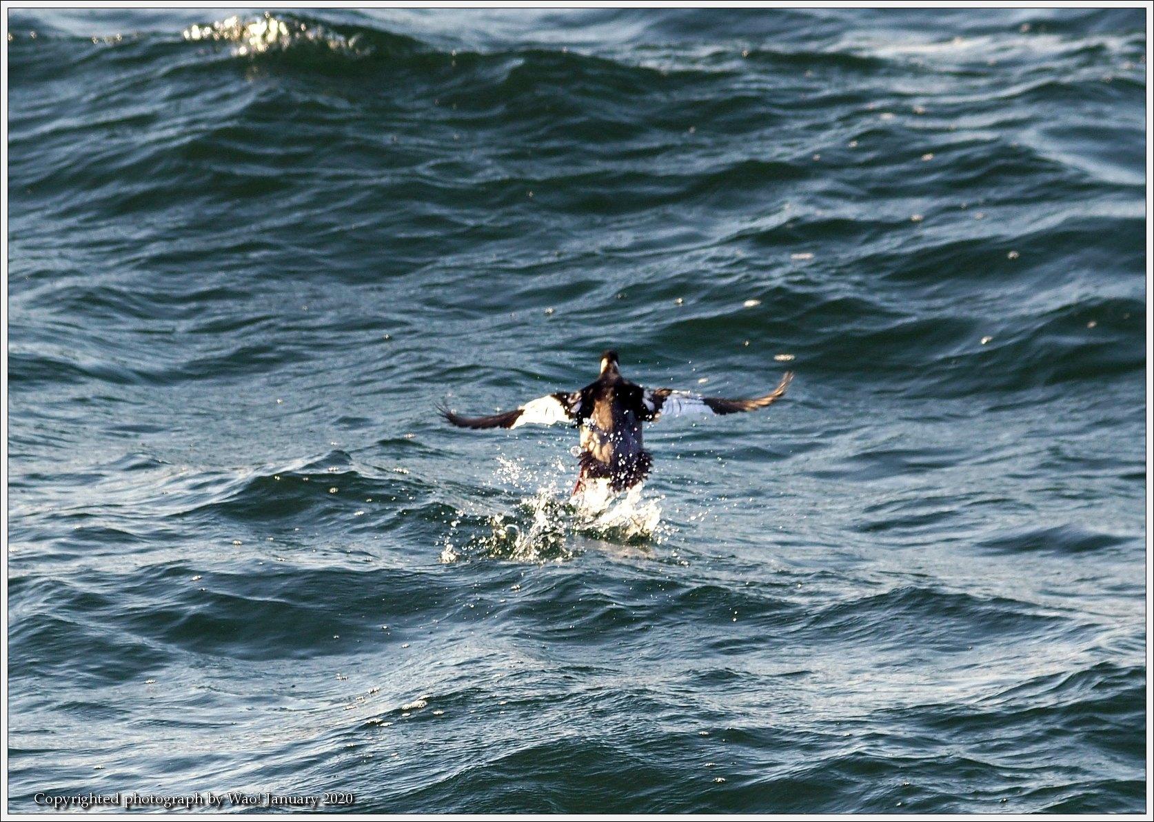 ウミアイサ 内湾で_c0198669_17411508.jpg