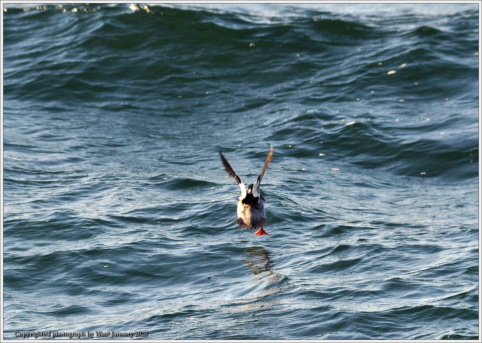 ウミアイサ 内湾で_c0198669_17412171.jpg