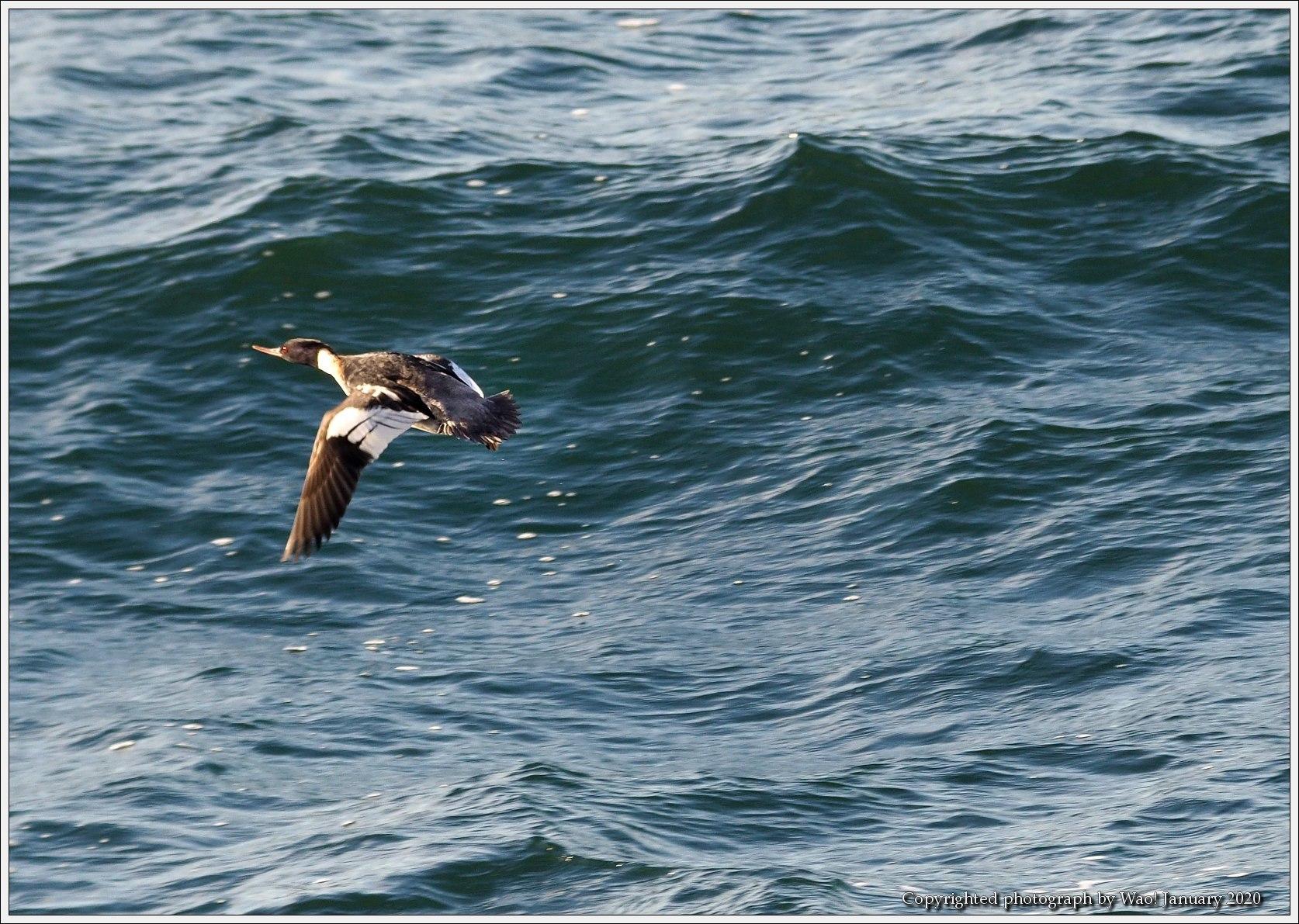 ウミアイサ 内湾で_c0198669_17413042.jpg