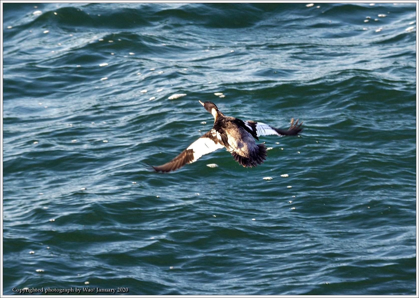 ウミアイサ 内湾で_c0198669_17413786.jpg