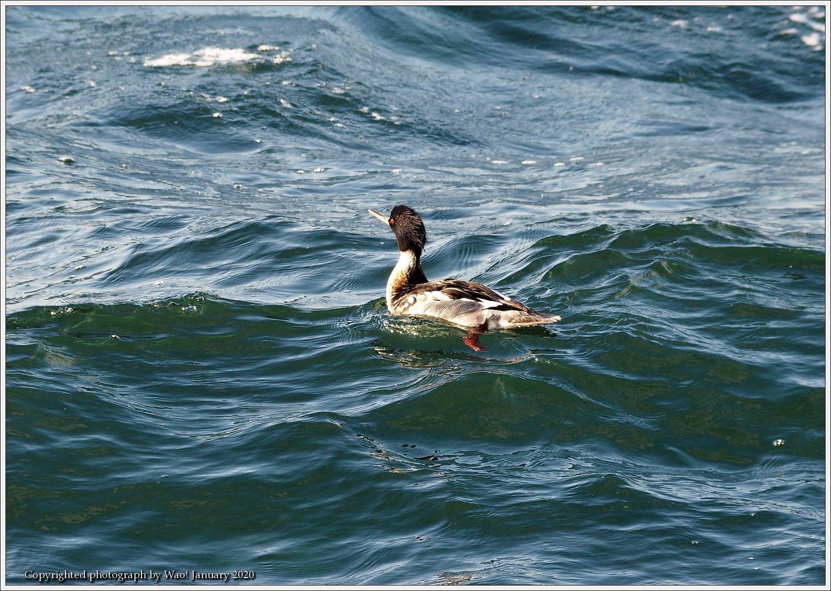 ウミアイサ 内湾で_c0198669_17414495.jpg