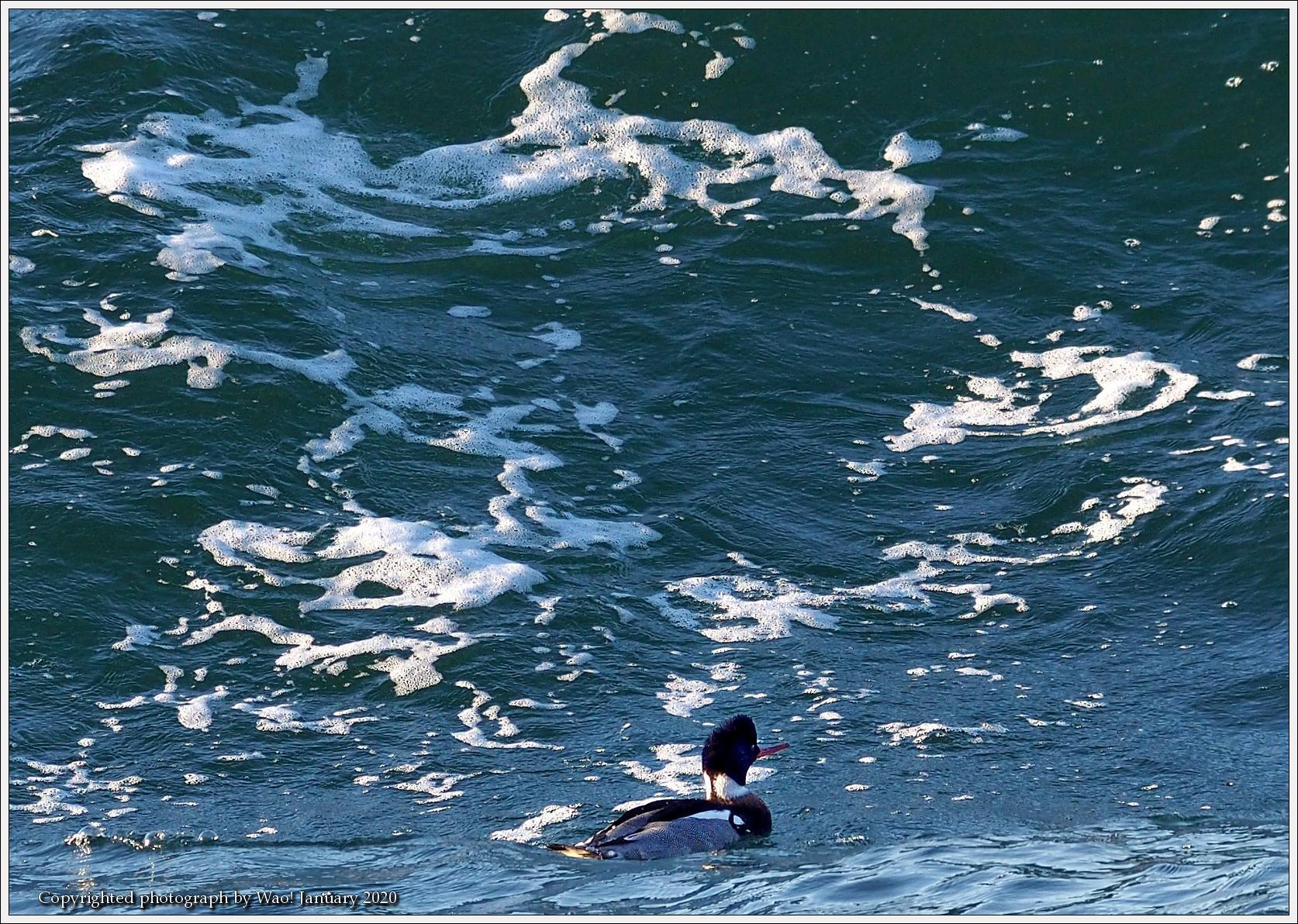 ウミアイサ 内湾で_c0198669_17421506.jpg
