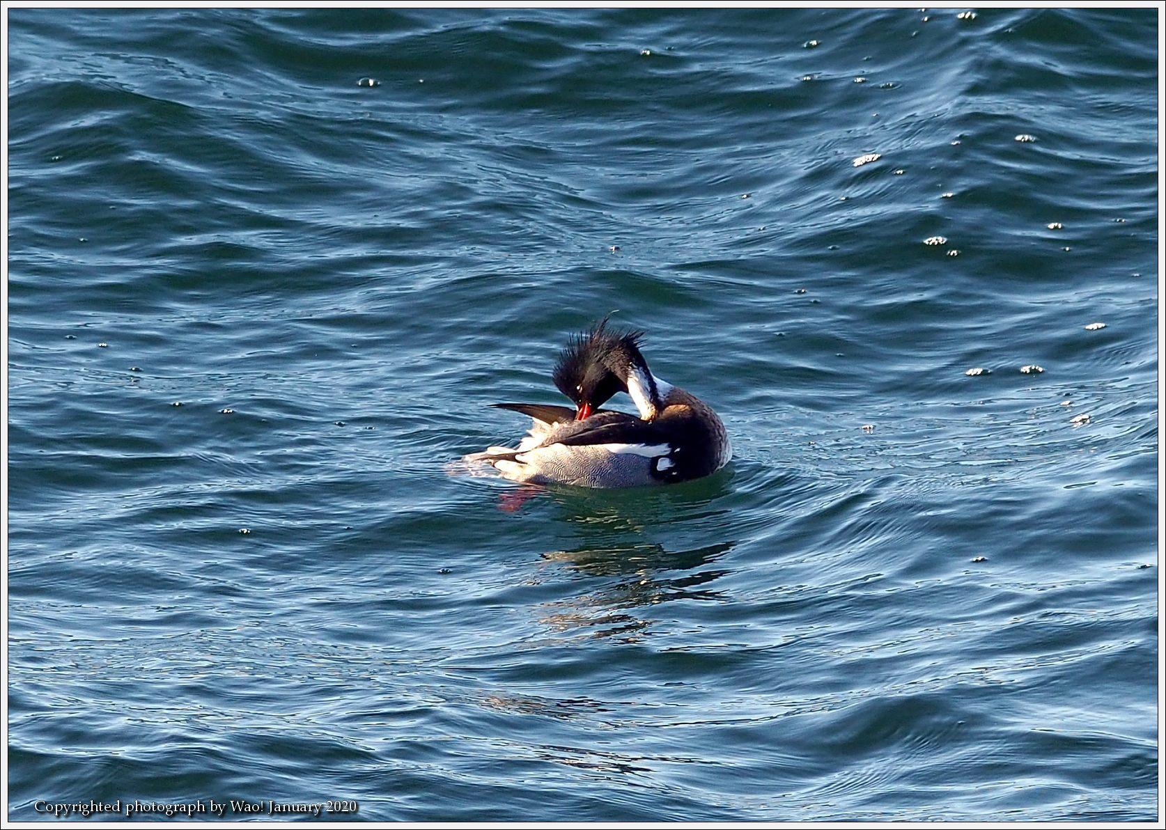 ウミアイサ 内湾で_c0198669_17425085.jpg