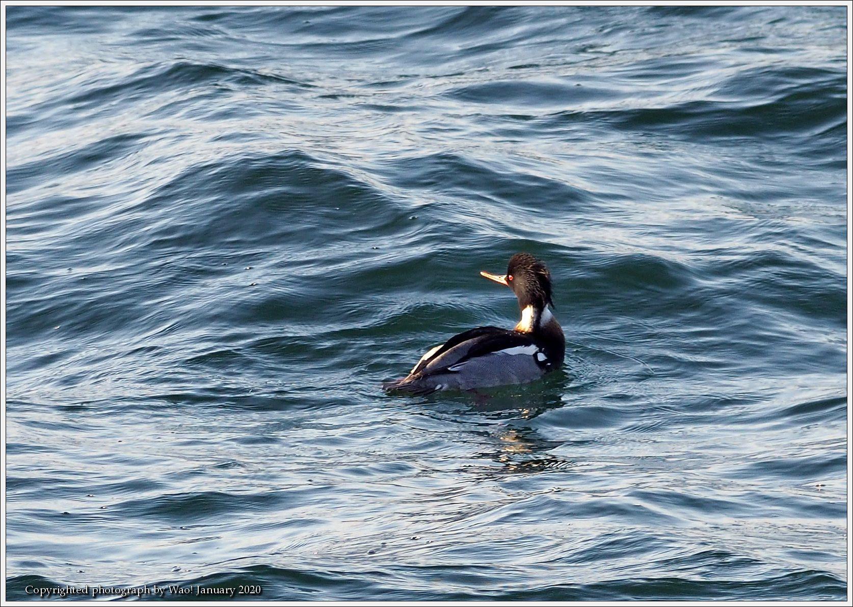 ウミアイサ 内湾で_c0198669_17430692.jpg