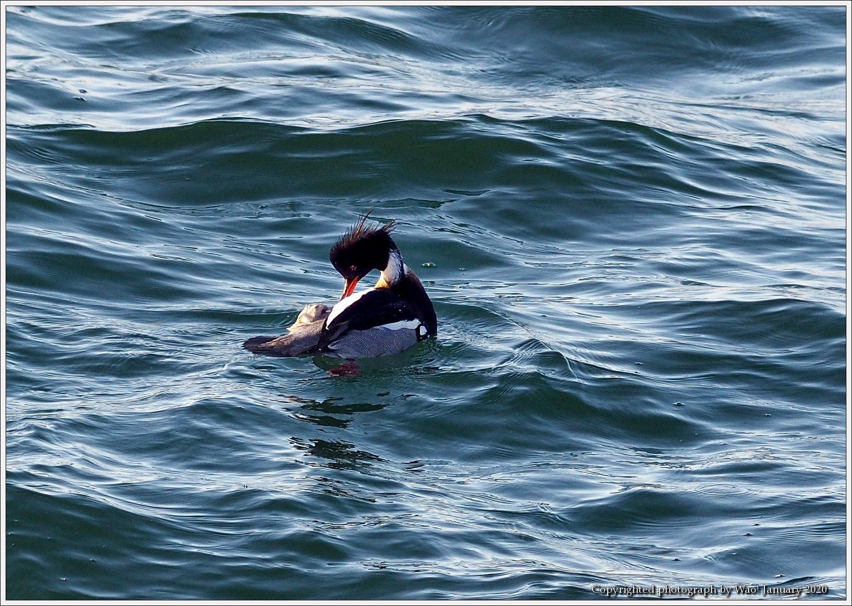 ウミアイサ 内湾で_c0198669_17432818.jpg