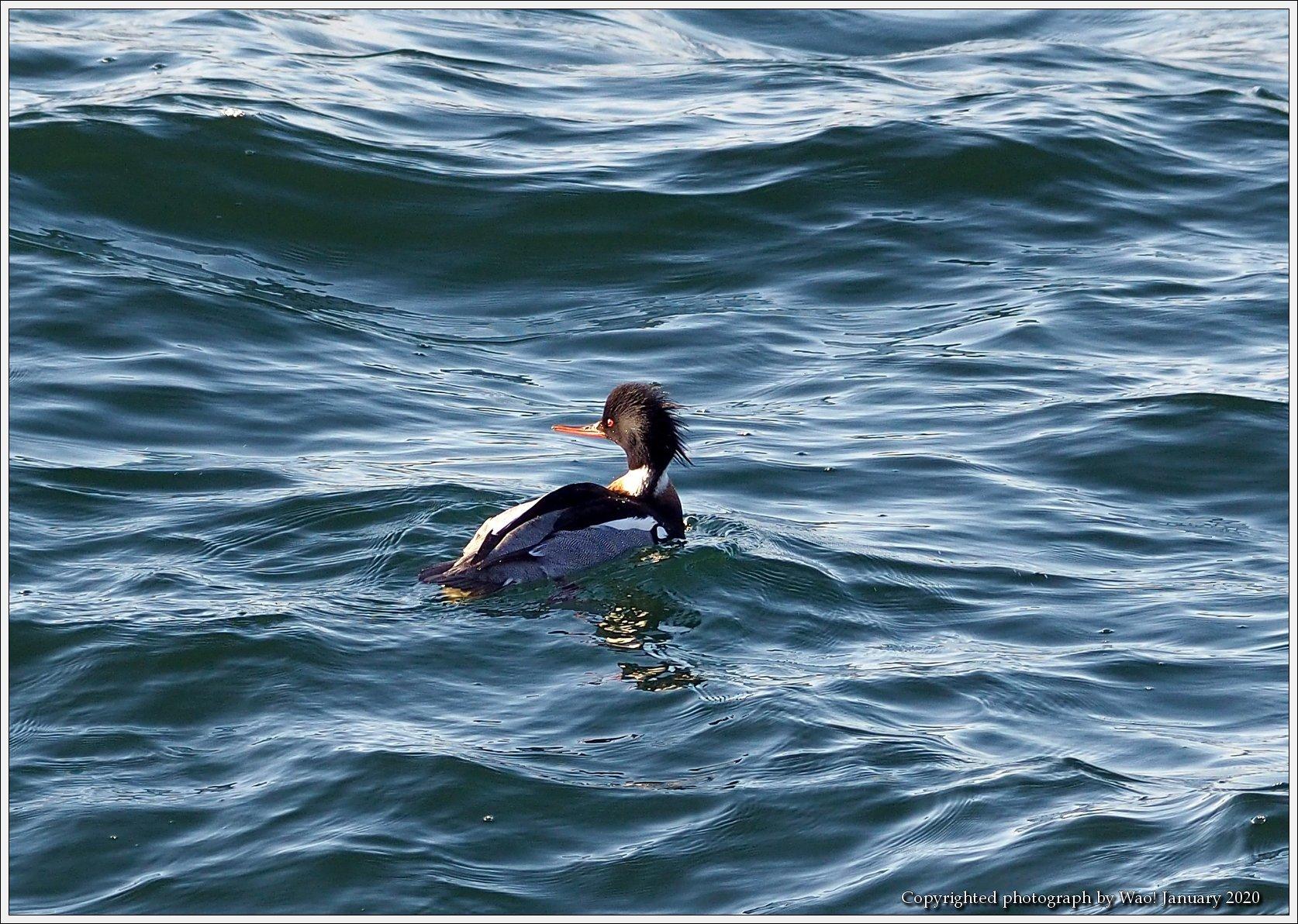 ウミアイサ 内湾で_c0198669_17433554.jpg