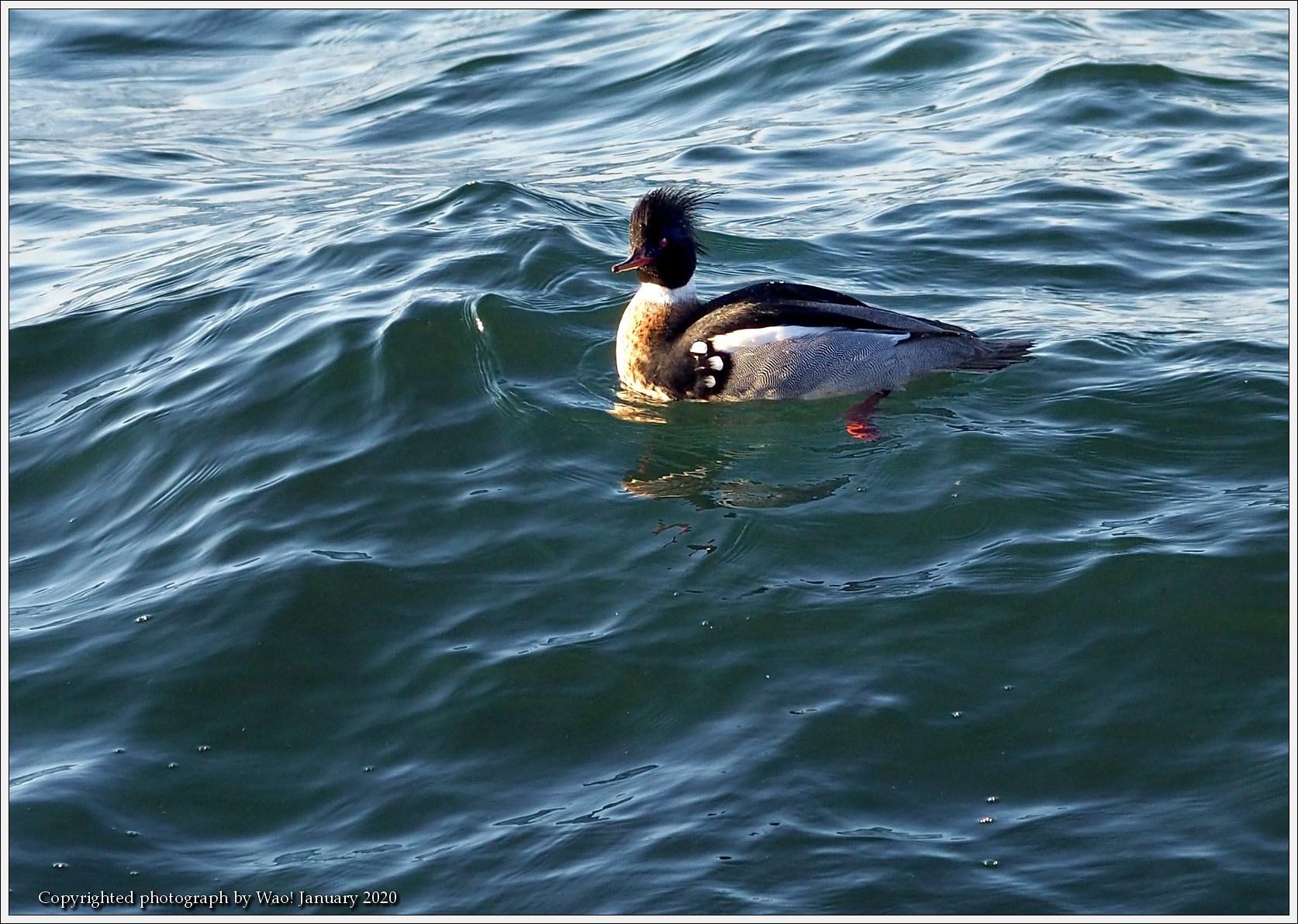 ウミアイサ 内湾で_c0198669_17444221.jpg