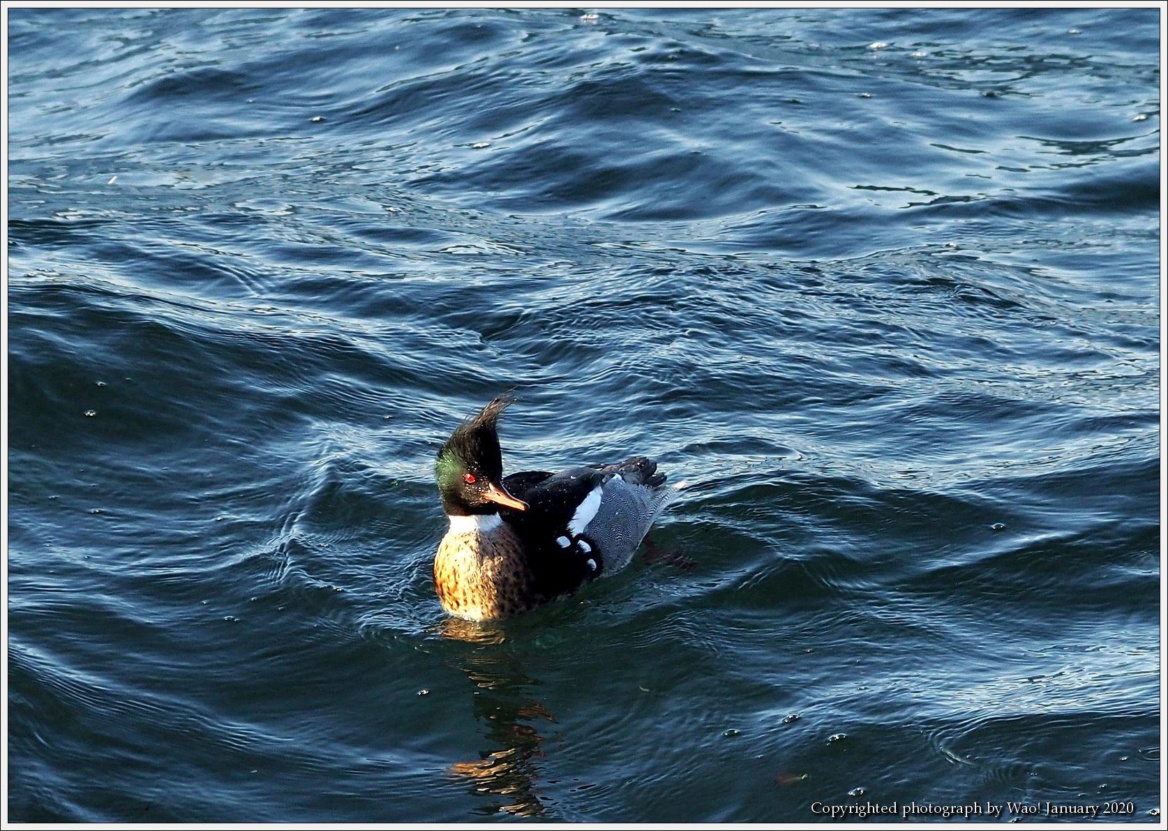ウミアイサ 内湾で_c0198669_17454844.jpg
