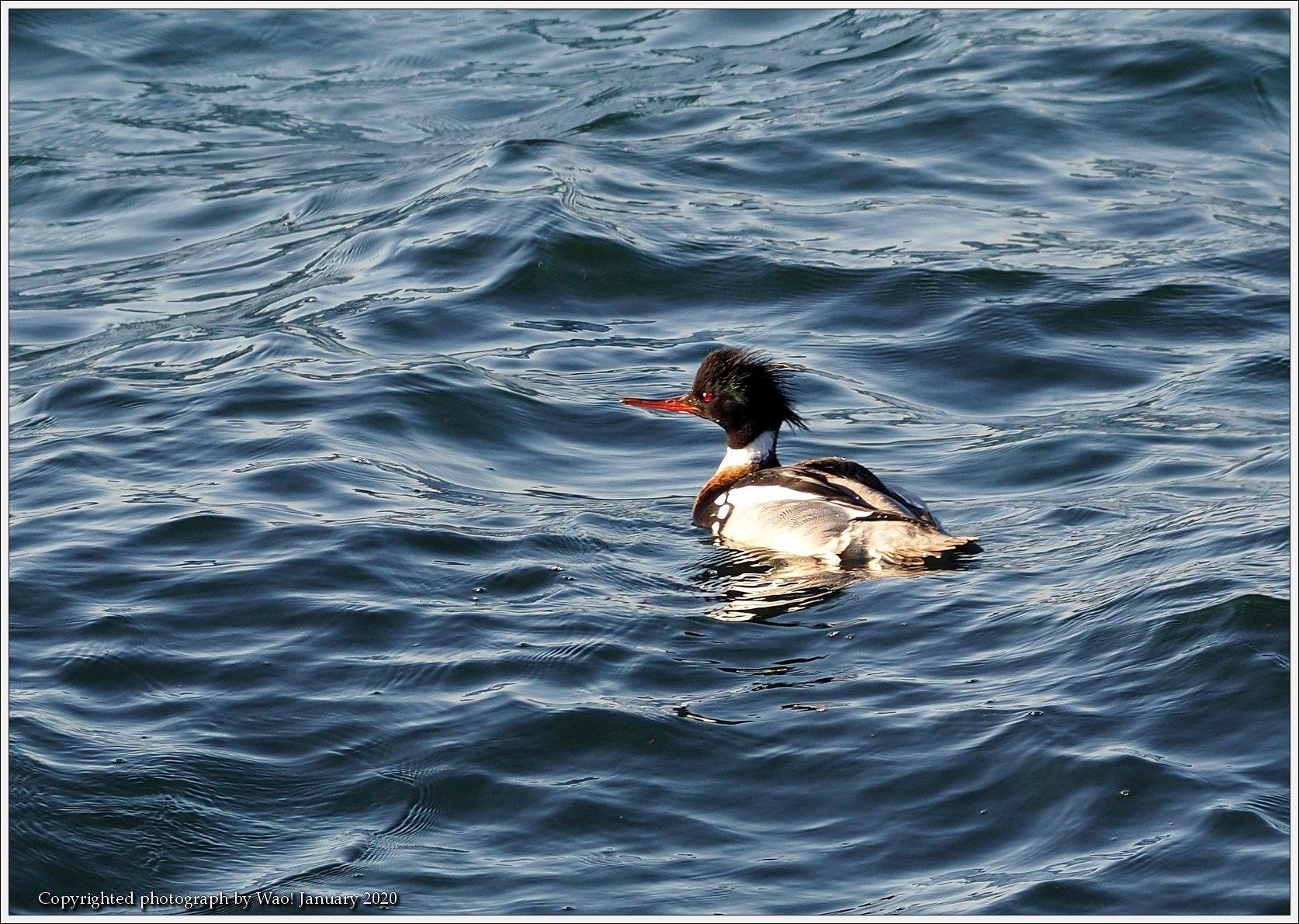 ウミアイサ 内湾で_c0198669_17464013.jpg