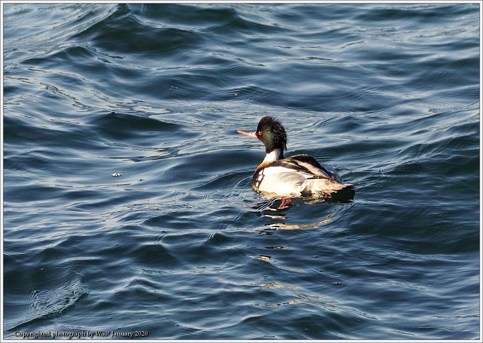 ウミアイサ 内湾で_c0198669_17465235.jpg