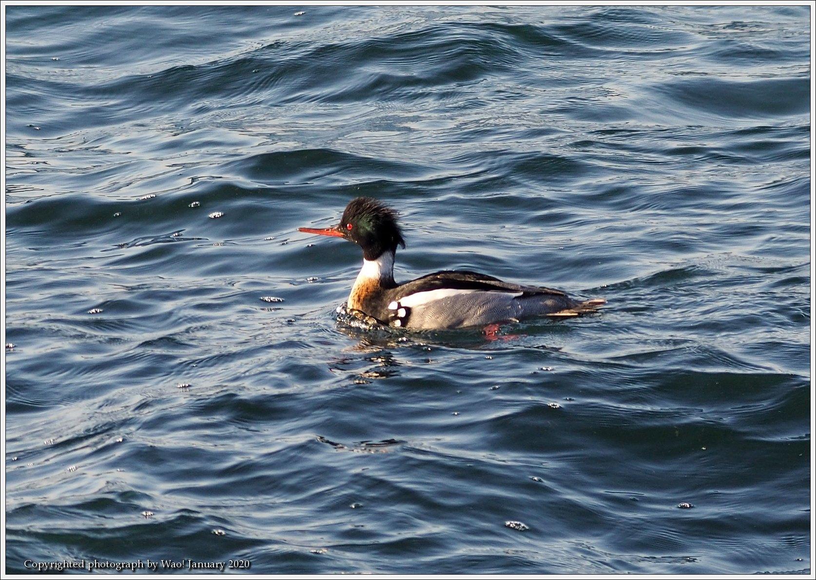 ウミアイサ 内湾で_c0198669_17495155.jpg