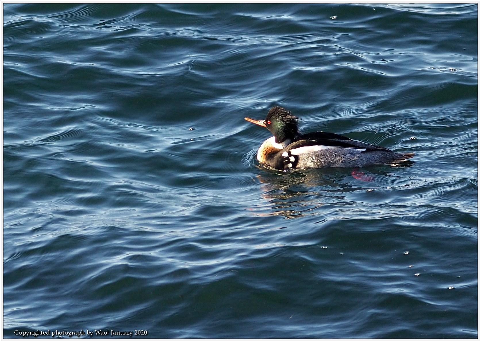 ウミアイサ 内湾で_c0198669_17495933.jpg