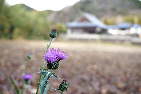 寒に咲いているアザミ_b0145296_09400523.jpg