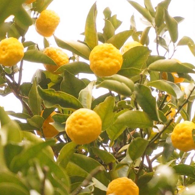 柚子収穫_f0087202_12083289.jpg