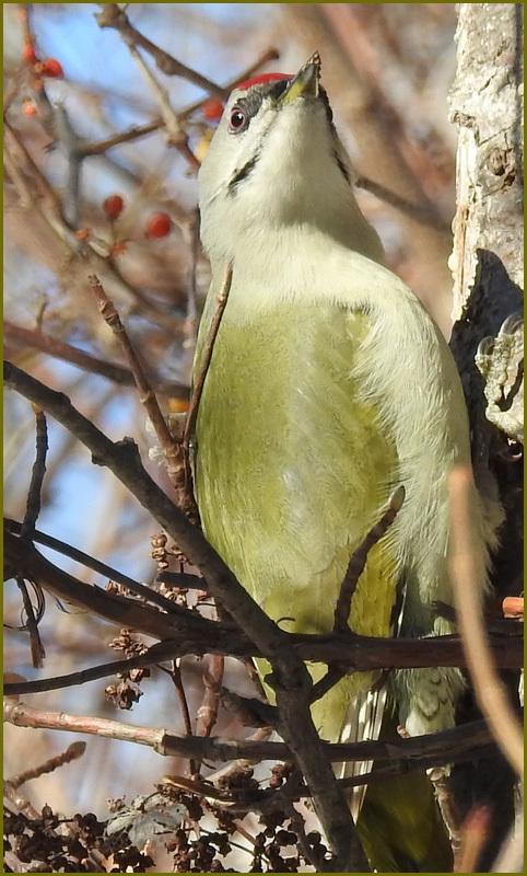 美しい羽をもつヤマゲラ_b0019313_17141908.jpg