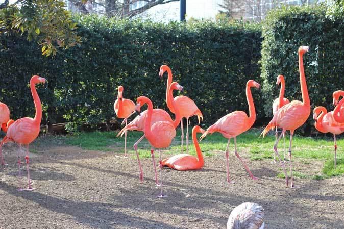 冬の上野動物園~ベニイロフラミンゴの若鳥と不忍池冬景色(January 2019)_b0355317_11554292.jpg