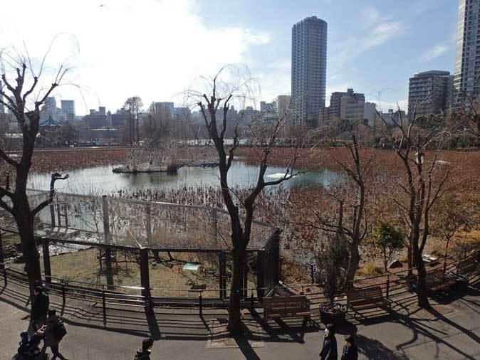 冬の上野動物園~ベニイロフラミンゴの若鳥と不忍池冬景色(January 2019)_b0355317_12023040.jpg