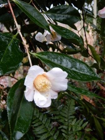 今日の庭 侘助_e0206820_16551944.jpg
