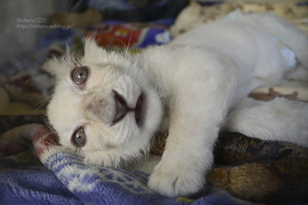 2019.11.30 東北サファリパーク☆ホワイトライオンのフクくん【White lion baby】_f0250322_21122826.jpg