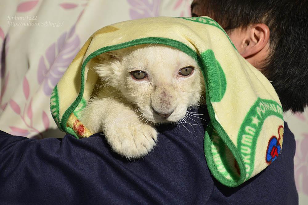 2019.11.30 東北サファリパーク☆ホワイトライオンのフクくん【White lion baby】_f0250322_21124964.jpg