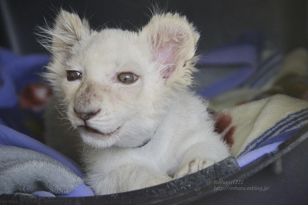2019.11.30 東北サファリパーク☆ホワイトライオンのフクくん【White lion baby】_f0250322_21131588.jpg