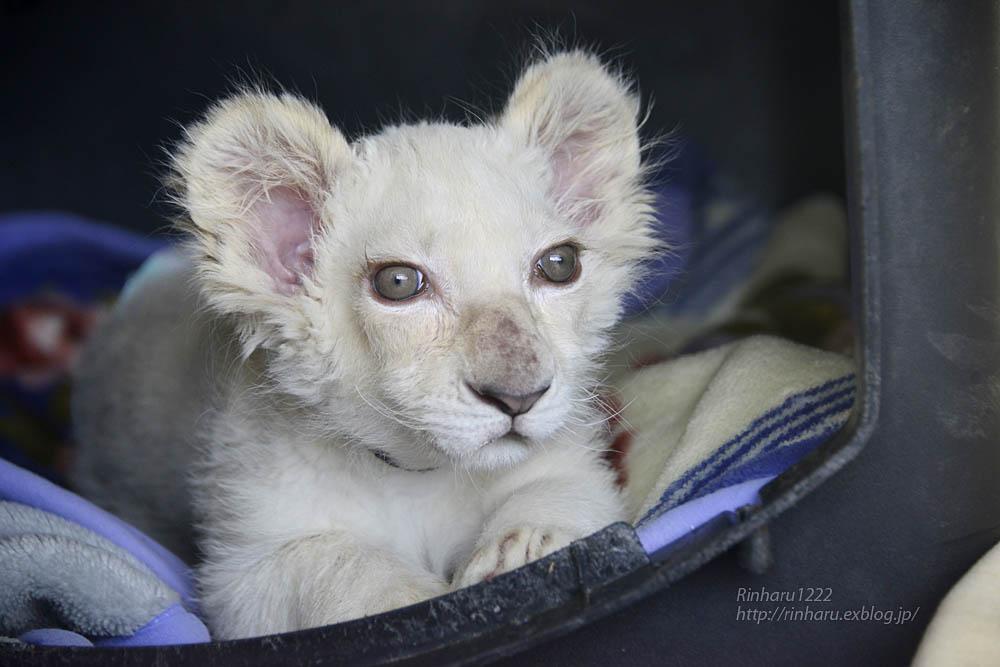 2019.11.30 東北サファリパーク☆ホワイトライオンのフクくん【White lion baby】_f0250322_21132293.jpg