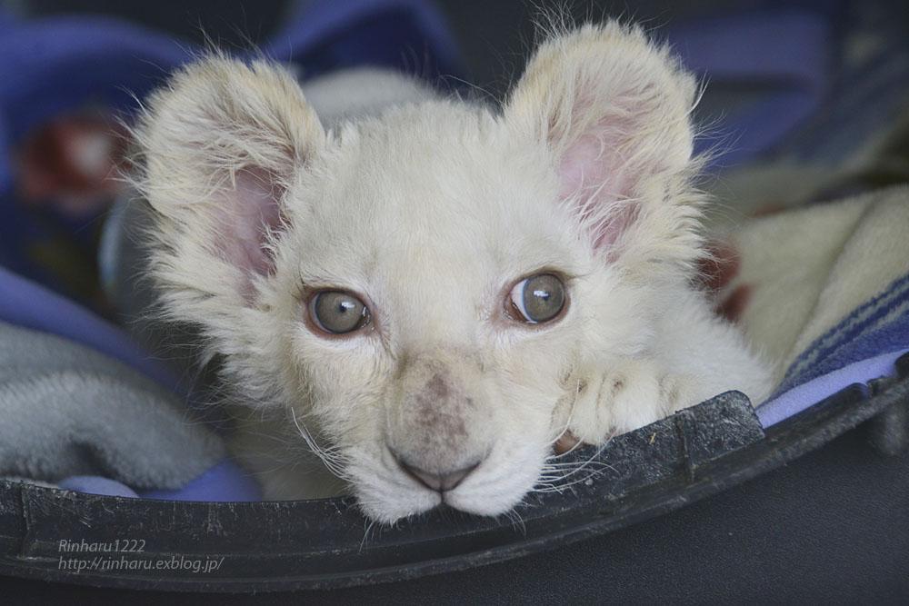 2019.11.30 東北サファリパーク☆ホワイトライオンのフクくん【White lion baby】_f0250322_2113356.jpg