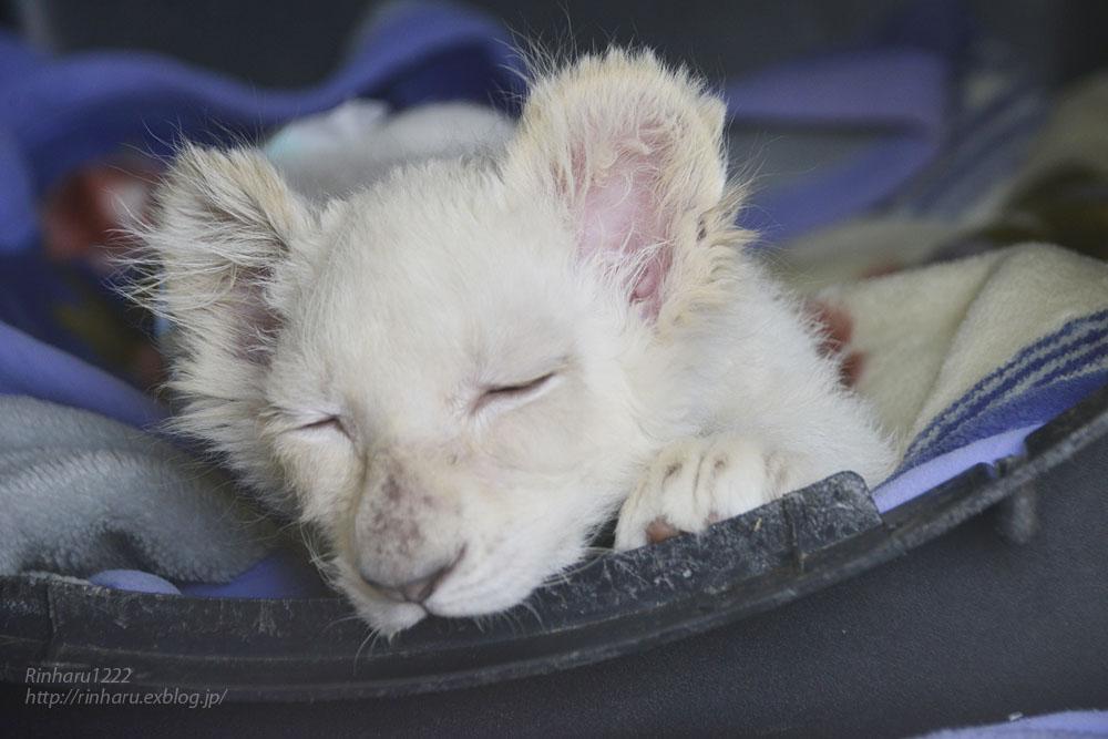2019.11.30 東北サファリパーク☆ホワイトライオンのフクくん【White lion baby】_f0250322_2113933.jpg