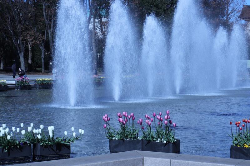 綺麗なチューリップは台東区上野公園です。_a0214329_2036304.jpg