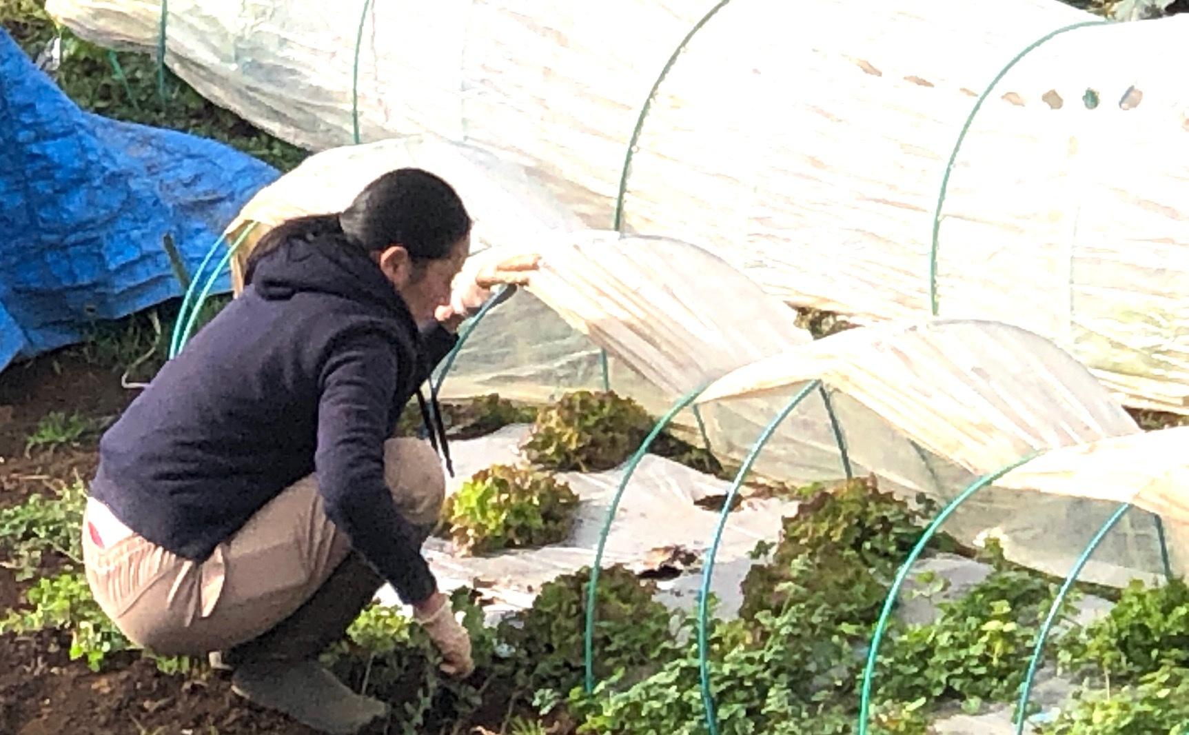 葉物 根物 蕾の冬野菜達 全て順調に育っております_c0222448_11431950.jpg