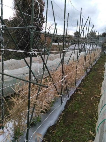葉物 根物 蕾の冬野菜達 全て順調に育っております_c0222448_15423459.jpg