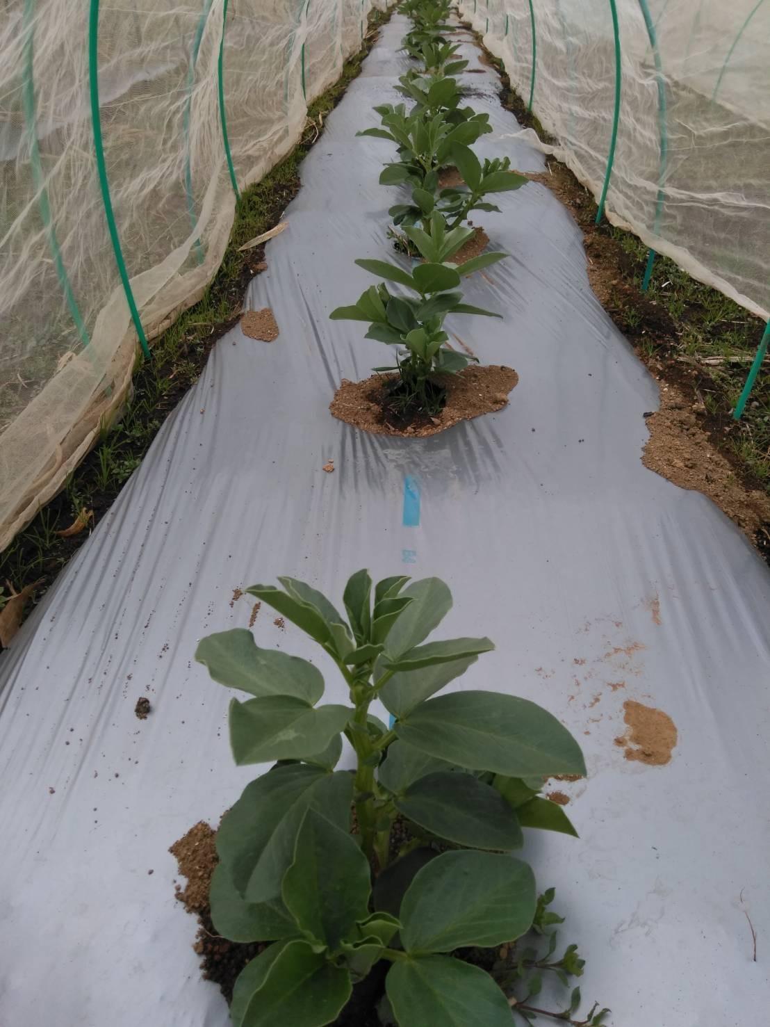 葉物 根物 蕾の冬野菜達 全て順調に育っております_c0222448_15425029.jpg