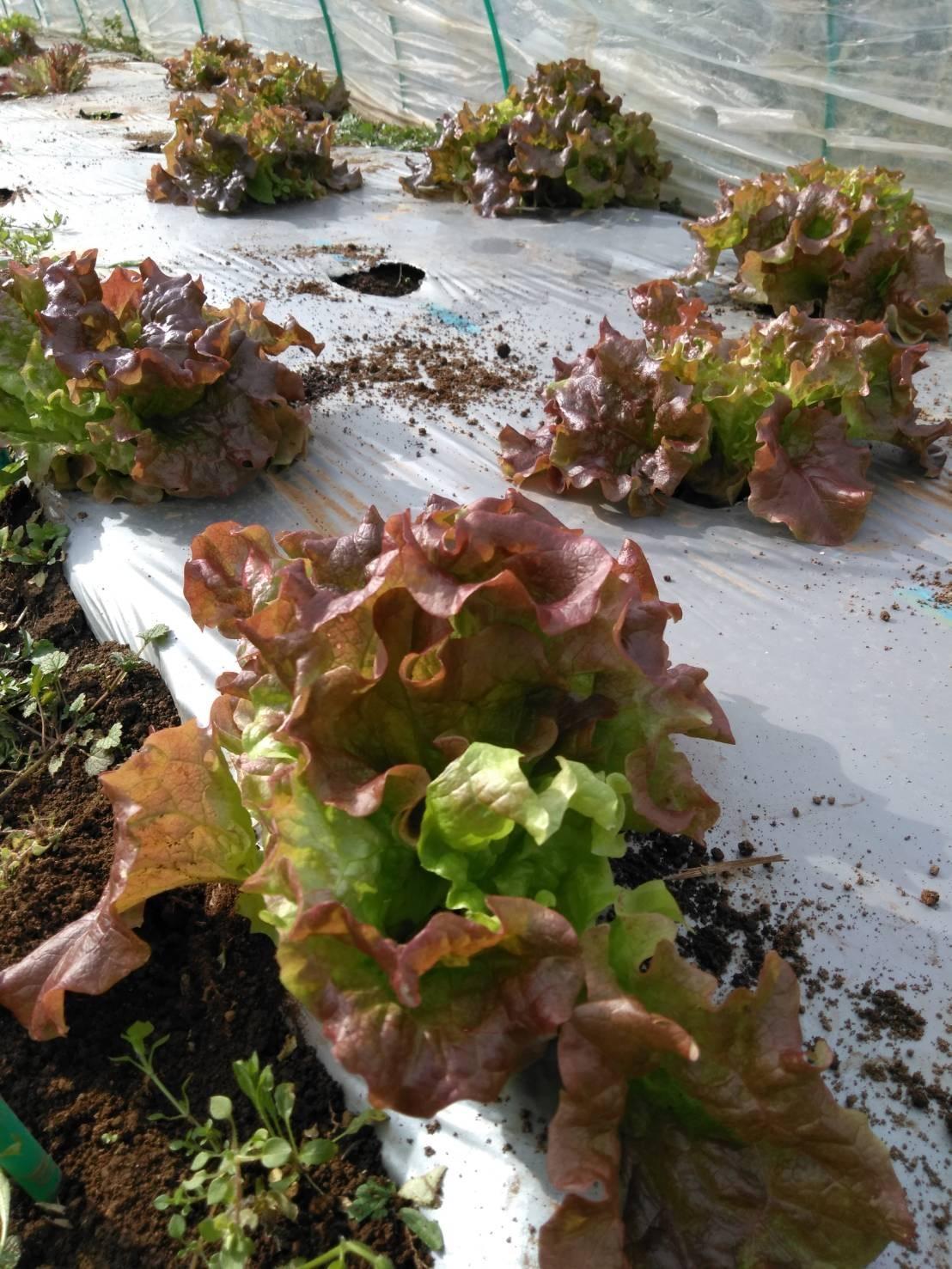 葉物 根物 蕾の冬野菜達 全て順調に育っております_c0222448_15434155.jpg
