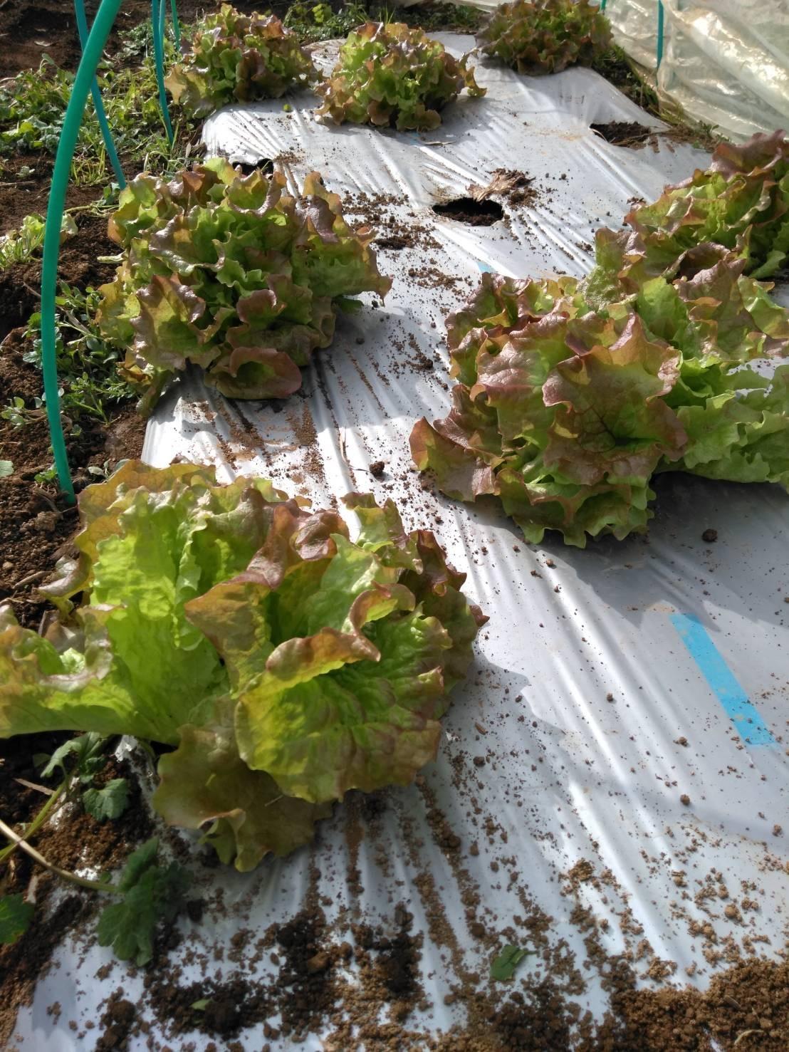 葉物 根物 蕾の冬野菜達 全て順調に育っております_c0222448_15435449.jpg