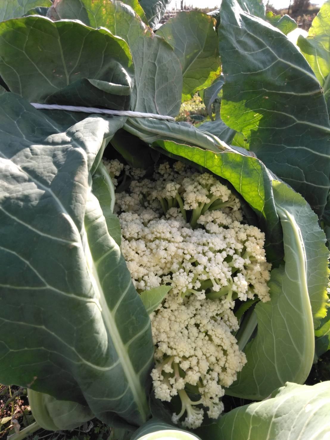 葉物 根物 蕾の冬野菜達 全て順調に育っております_c0222448_15440962.jpg