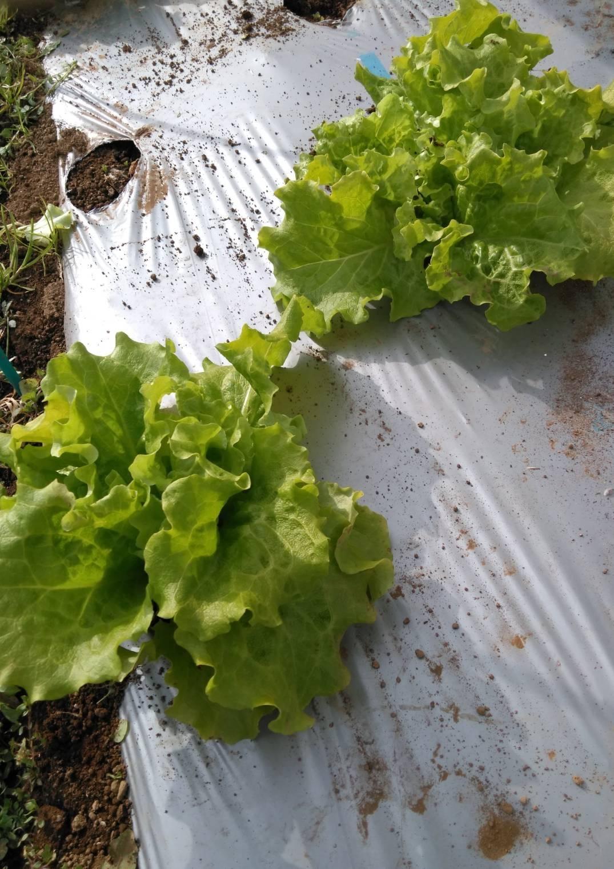 葉物 根物 蕾の冬野菜達 全て順調に育っております_c0222448_15463613.jpg