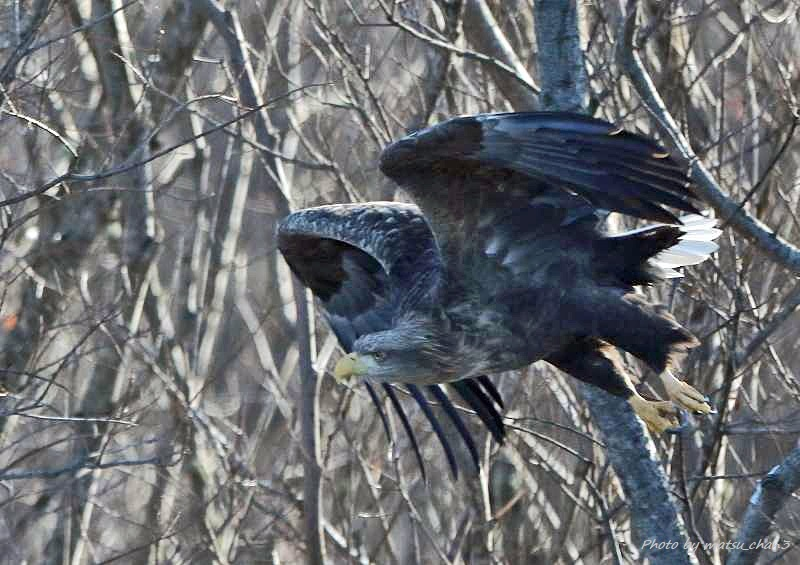 オジロワシ White-tailed Eagle_c0070654_20453034.jpg